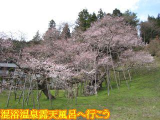 開花して満開に近い臥龍桜